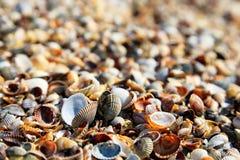 Primo piano dei Seashells Fotografia Stock