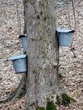 Primo piano dei secchi e dei rubinetti sugli alberi di acero per raccogliere linfa Fotografia Stock Libera da Diritti