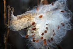 Primo piano dei semi del milkweed immagini stock