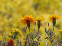 Primo piano dei tageti di alcuni fiori su fondo giallo fotografia stock