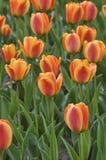 Primo piano dei tulipani Fotografie Stock