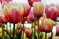 Primo piano dei tulipani arancioni e bianchi dell'albicocca, di colore rosa, Fotografie Stock