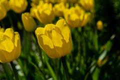 Primo piano dei tulipani gialli in piena fioritura Fotografia Stock Libera da Diritti