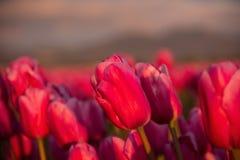 Primo piano dei tulipani rosa del campo Immagini Stock Libere da Diritti