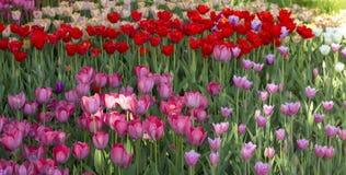 Primo piano dei tulipani rosa in un campo dei fiori rosa Fotografie Stock Libere da Diritti