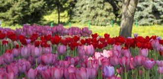 Primo piano dei tulipani rosa in un campo dei fiori rosa Fotografia Stock