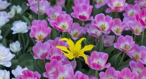 Primo piano dei tulipani rosa in un campo dei fiori rosa Fotografia Stock Libera da Diritti