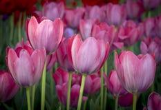 Primo piano dei tulipani rosa in un campo dei fiori rosa Fotografie Stock