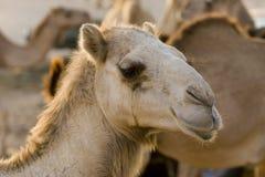 Primo piano dei UAE Dubai di un fronte del cammello ad un'azienda agricola nel deserto fuori del Dubai Fotografie Stock