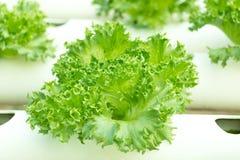 Primo piano dei verdi dell'insalata Fotografie Stock