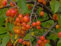 Primo piano dei winterberries rossi luminosi e delle foglie verdi, fuoco selettivo fotografia stock