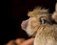 Primo piano del babbuino Fotografia Stock Libera da Diritti