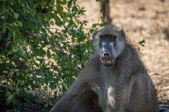Primo piano del babbuino di chacma con la bocca aperta Immagine Stock