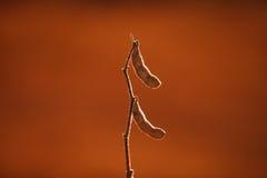 Primo piano del baccello della soia pronto a raccogliere fotografia stock libera da diritti