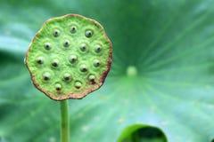 Primo piano del baccello del seme del loto contro le sue grandi foglie verdi Fotografia Stock Libera da Diritti
