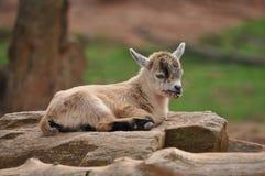 Primo piano del bambino del capro Immagini Stock
