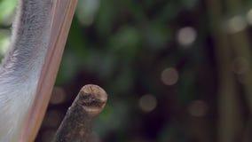 Primo piano del becco del pellicano e di ondeggiamento gular - 4k archivi video
