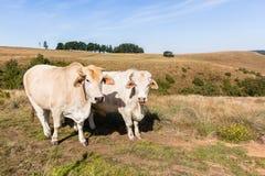 Primo piano del bestiame degli animali che coltiva paesaggio Immagini Stock