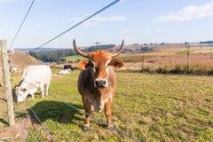 Primo piano del bestiame degli animali che coltiva paesaggio Immagine Stock