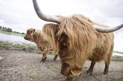 Primo piano del bestiame di un altopiano Immagine Stock Libera da Diritti
