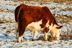 Primo piano del bestiame scozzese dell'altopiano nell'inverno Fotografie Stock Libere da Diritti