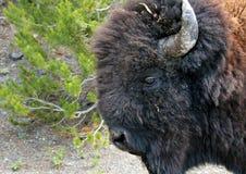 Primo piano del bisonte Fotografia Stock Libera da Diritti