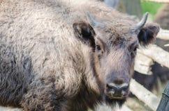 Primo piano del bisonte Immagini Stock Libere da Diritti