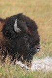 Primo piano del bisonte americano (Buffalo) Immagine Stock