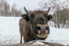 Primo piano del bisonte europeo in parco nazionale Fotografia Stock