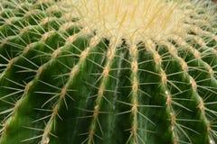 Primo piano del cactus Fotografie Stock Libere da Diritti