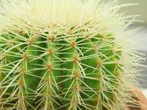 Primo piano del cactus ai giardini botanici nazionali di Dublino Fotografie Stock