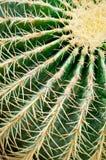 Primo piano del cactus Particolare succulente della pianta Fotografia Stock Libera da Diritti