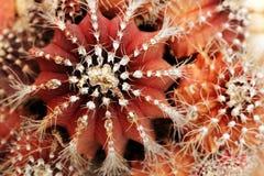 Primo piano del cactus rosso & arancione del melone con le spine dorsali Immagine Stock