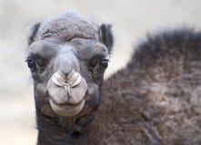 Primo piano del cammello del bambino Fotografie Stock Libere da Diritti