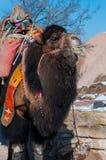 Primo piano del cammello di Brown Fotografia Stock Libera da Diritti