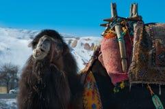 Primo piano del cammello di Brown Immagini Stock Libere da Diritti