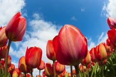Primo piano del campo del tulipano Fotografia Stock