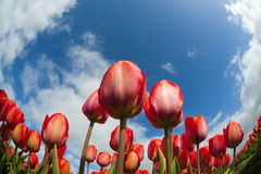 Primo piano del campo del tulipano Immagini Stock Libere da Diritti
