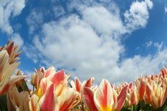 Primo piano del campo del tulipano Fotografie Stock
