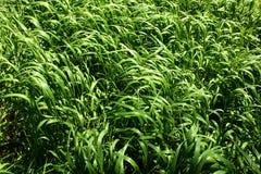 Primo piano del campo di erba Fotografia Stock Libera da Diritti