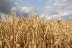 Primo piano del campo di frumento Immagini Stock Libere da Diritti