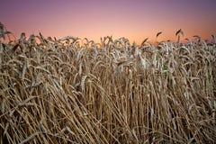 Primo piano del campo di frumento al tramonto Immagini Stock Libere da Diritti