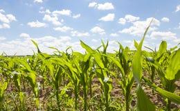 Primo piano del campo di grano Fotografia Stock Libera da Diritti