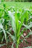 Primo piano del campo di grano Fotografia Stock