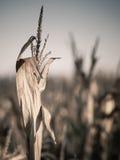 Primo piano del campo di grano Immagini Stock
