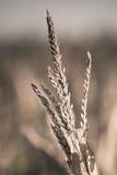Primo piano del campo di grano Immagine Stock Libera da Diritti