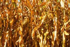 Primo piano del campo di grano con con le piante blu dell'oro e del fondo Fotografia Stock Libera da Diritti