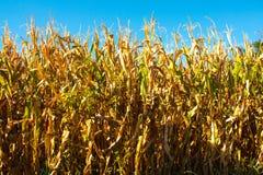 Primo piano del campo di grano con con le piante blu dell'oro e del fondo Fotografia Stock