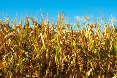 Primo piano del campo di grano con con le piante blu dell'oro e del fondo Fotografie Stock