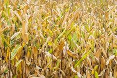 Primo piano del campo di grano dorato in autunno pronto per il raccolto Fotografie Stock Libere da Diritti